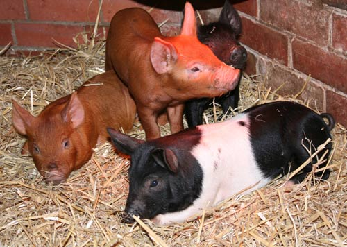 pigs on straw bed